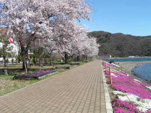 kawaguchiko_sakura-fes.jpg